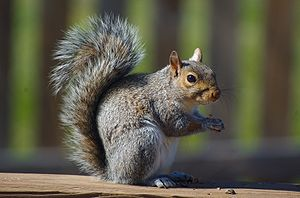 North american gray squirrel eating an acorn.