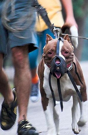 An American Pit Bull Terrier muzzled.